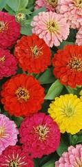 A photo of Zinnia elegans 'Magellan Mix'