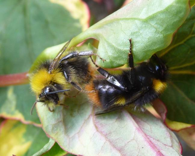 A close up of two Early Bumblebee Bombus pratorum mating in the leaves of a plant