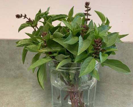 A bouquet of Thai basil in a vase on a table